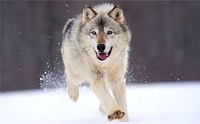 Mơ thấy chó sói